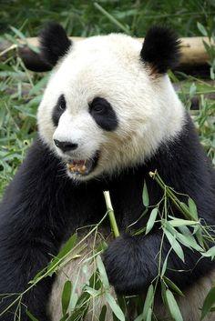 Panda Blood Found To Contain Powerful New Antibiotic ... #pets #animals ... PetsLady.com