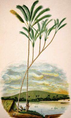 Olímpia Reis Resque: Literatura: A Palmeira Poesia de Thiago de Mello sobre a palmeira Jauari. Ilustração em J. Barbosa Rodrigues (1842-1909) . Sertum palmarum brasiliensium , 1903. No Blog!
