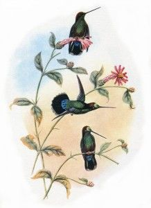 A vintage hummingbird pic for you to download and print.