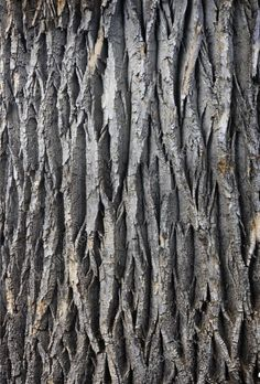 Texture of a giant cottonwood tree trunk with vertical bark patterns. Texture image by Pixelsaway. Natural Structures, Natural Forms, Natural Texture, Wood Patterns, Patterns In Nature, Textures Patterns, Wood Texture, Texture Art, Texture Design