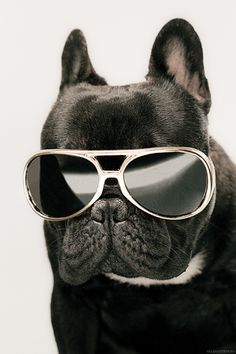 funny dog with glasses boxer #dog #sunglasses #cool