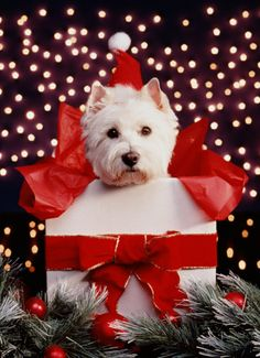 West Highland Terrier with santa hat in box