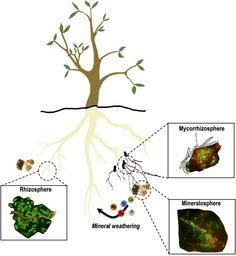 mineral cycle roots
