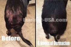 dog hair loss: I have tried every single antibiotic under the sun, switched her food to a limited ingredient diet, and so many other diy remedies and nothing seemed to help, until Dermacton. #dogs #hair-loss #skin # problems #allergies