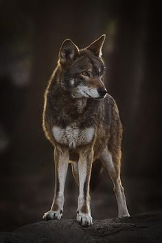 """beautiful-wildlife: """"From The Darkness Comes The Wolf by Wes and Dotty Weber Red Wolf """""""