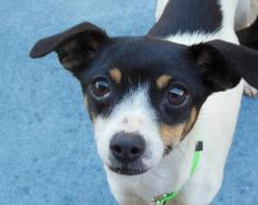 #Adopt AALA she's a young  Rat Terrier  in #Lodi, #CALIFORNIA with Heart to Heart Small Dog Rescue Lrpisme@yahoo.com