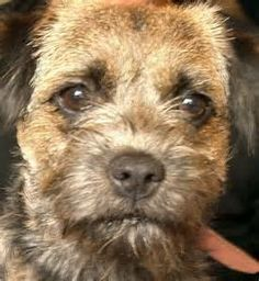 It was in the Cheviot Hills close to the border of England and Scotland that the Border Terrier was first bred.