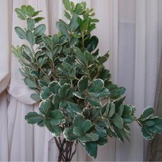 Variagated Pittosporum- would be using some of this in your lower centerpieces