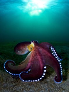 Honorable Mention - Enrico Somogyi - Compact Wide Angle Category - Coconut Octopus A selection of stunning photos picked by a talented jury is just the perfect way to find not only entertainment but also inspiration. Underwater Animals, Underwater Photographer, Underwater Creatures, Underwater Photos, Ocean Creatures, Ocean Underwater, Under The Water, Beautiful Sea Creatures, Animals Beautiful