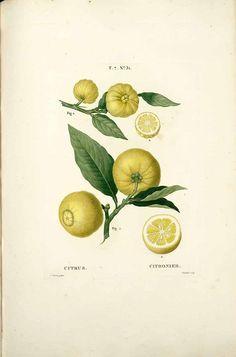 250634 Citrus medica L. / Duhamel du Monceau, H.L., Traité des arbres et arbustes, Nouvelle édition [Nouveau Duhamel], vol. 7: t. 31 (1819) [P. Bessa] - #bergamot #vintagebotanical