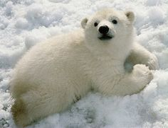 I'm a gullible dirtbag who doesn't fact check; apparently the polar bear population is in fact on the rise despite global loss of sea ice. So here's a picture happy polar bear cub to make up for my earlier post. Baby Polar Bears, Cute Polar Bear, Polar Cub, Baby Pandas, Grizzly Bears, Panda Bears, Polar Beat, Baby Giraffes, Baby Otters