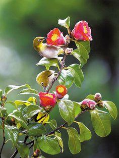 동백꽃과 동박새 Japanese white-eyes sitting on camellia Flowers