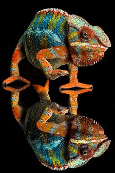 If you aren't sure what to wear, wear a chameleon, they go with everything! by Uli H.
