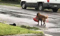 Dog carrying bag of food after Hurricane Harvey becomes viral hero