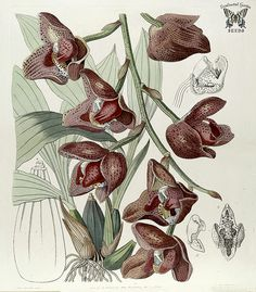 Acineta superba. Fragrant, long-lasting, 3 inch flowers in blended shades of red, brown, and white. Grows in the canopy of mountain forests from Venezuela to Peru. Edwards's Botanical Register, vol. 29 (1843) [S.A. Drake]
