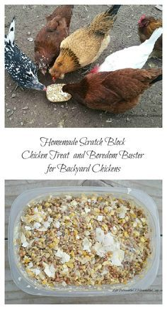 Every now and then we like to give our backyard chickens a special chicken treat. Sometimes it's a few strawberries or some leftover lettuce. But sometimes we make a little chicken scratch block that we toss out into the chicken run. It not only gives them a treat, but it also gives them something to do because they have to peck at it for a bit to get the food. Sitting around the chicken coop all day can be a little dull, don't you think? As you can see in the picture, our chickens love it!