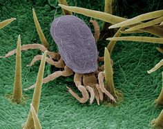 """""""BIOPROTECTOR"""":    At 0.6 millimeter across, Typhlodromus pyri is a fierce predatory mite that hunts other kinds of mites. One female T. pyri can kill hundreds of red spider mites during her lifetime"""