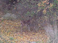 This is one of the many fawns we have in the Fall at Rabbit Path Habitat.