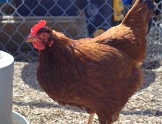 A fantastic article on some of the troubles you can encounter while raising backyard chickens.
