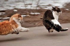 cat chase. page full of OMG cute cat pix.