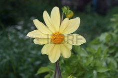 yellow flower has bloomed in summer day