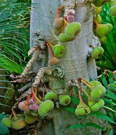 Ficus sycomorus called the sycamore fig or the fig-mulberry