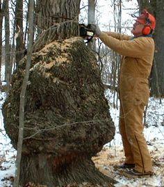 Cutting oak burl 12-04