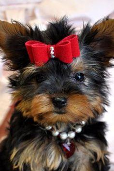 Tiny Yorkie Puppy adorable