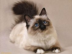 Persian Cats Informa
