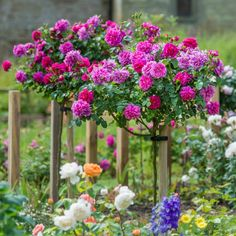 A particularly healthy rose with blooms of unique character. Buy Princess Anne from David Austin with a 5 year guarantee and expert aftercare. Rosas David Austin, Beautiful Roses, Beautiful Gardens, Butterfly Garden Plants, Standard Roses, Rose Foto, Flower Words, Rose Garden Design, Short Plants