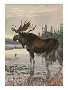 Painting of a moose wading in a lake and eating aquatic plants Giclee Print by Louis Agassiz Fuertes at Art.com