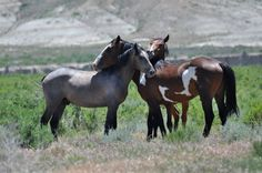 Mustang+Horse | Indigenous wild horses are not 'feral' and should stay on public ...