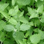 ~ Catnip ~ Not Just For Cat Toys.  This Plant Is More Powerful At Repelling Mosquitoes Than Deet! Who Knew?