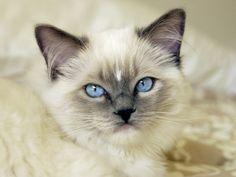 Ragdoll Kitten Fotoprint