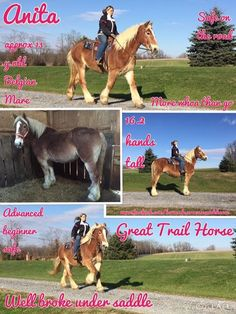 FOUND A NEW HOME  Anita Approx 13 year old Belgian Mare 16.2 hands tall More whoa than go Advanced beginner safe Safe on the road Great trail horse Well broke under saddle  Not marish