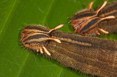 The caterpillar stage of the owl butterfly