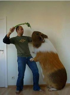 If I had a Guinea Pig that big I'm pretty sure I'd ride it into battle
