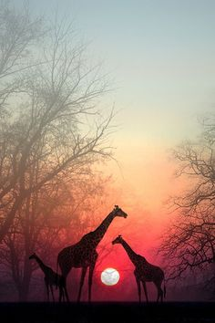 I don't know if this photo is Photoshopped or not, but it's breathtaking. The trees fade, kind of like a layer effect. The giraffes are nice and detailed. And the gradient sky is beautiful Africa
