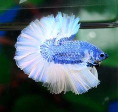 Powder Blue Butterfly Betta <3