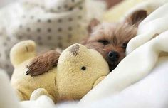 This little puppy cuddled with his teddy: