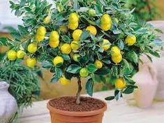 50 pieces/bag Lemon Tree Seeds High survival Rate Fruit Seeds For Home Gatden balcony Bonsai Bonsai Fruit Tree, Bonsai Plants, Mini Bonsai, Houseplant, Indoor Trees, Indoor Bonsai, Indoor Outdoor, Organic Seeds, Organic Fruit