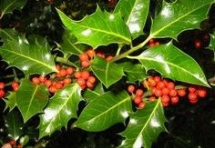 Every Scottish clan has a plant badge - a sprig of the plant being worn in their bonnet in the old days as a recognition symbol - and that of the MacMillans is the Holly.