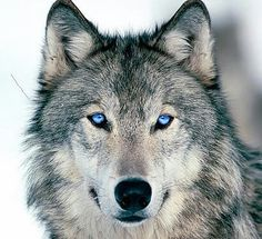 The Wolfes...