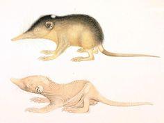 Almik haitański, 1. ♀ 3 dni po narodzinach, 2. ♀ po porośnięciu futerkiem /Solenodon paradoxus/ (Allen 1910)
