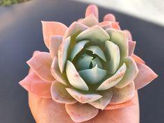 Image of Echeveria sedum Echeveria, Artichoke, Vegetables, Plants, Image, Succulents, Artichokes, Vegetable Recipes, Plant