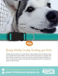 There are THREE Siberian Husky X dogs for adoption in Fort McMurray, #Alberta, #Canada: http://www.fortmcmurrayspca.ca/ Email: Info@fortmcmurrayspca.ca Telephone: 780-743-8997 #share please!