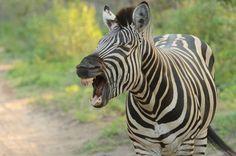 This week our volunteers spotted a yawning zebra! Volunteer Work, Volunteer Abroad, Personal And Professional Development, Wildlife Conservation, Volunteers, Kenya, Thailand, Africa