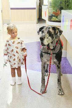 Great Dane therapy dog  ♥