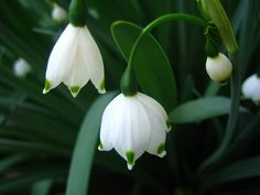 Snowdrop Flower Meaning   Flower Meaning