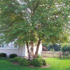 Lush green beautiful River Birch, great for planting near water features and patios Landscaping Around Trees, Landscaping With Rocks, Front Yard Landscaping, Backyard Patio, Privacy Landscaping, Landscaping Supplies, Landscaping Tips, Landscaping Software, Landscaping Borders